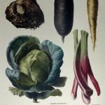 Celeriac No. 11